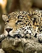Leopard,_Africa.jpg