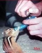 Stoner Chipmunk