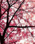 cherry-blossom.jpg