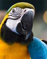 Parrot Ara Ararauna