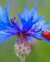 Ladybug On A Blue Cornflower Plant