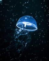 Jellyfish Dark