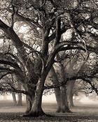 Two Hearted Oak, 2000 wallpaper 1