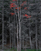 Bare Trees, Red Leaves, Acadia