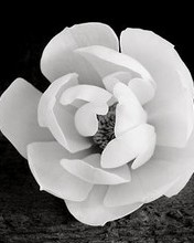 Free Magnolia Blossom, 2000 phone wallpaper by miathyria