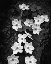 Free Dogwood Blossoms phone wallpaper by miathyria