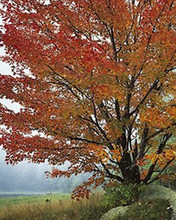Free Wild Red Maple in Fog, NH phone wallpaper by miathyria