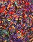 Sweetgum Stars, Virginia 1998