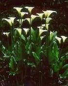 White Callas at Dawn, Oregon 2003
