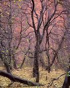 Trees, Kolob Canyon, Zion