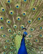 Peacock, Mariposa County, CA