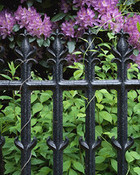 Iron Bars, Rhododendrons