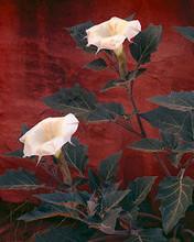 Free Sacred Datura phone wallpaper by miathyria