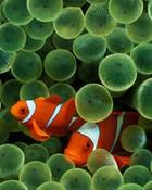 wallpaper-clown-fish.jpg