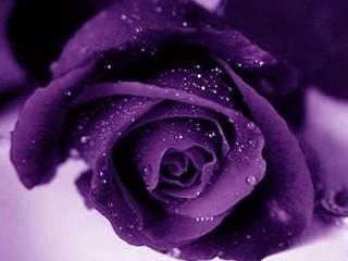 Free purple rose phone wallpaper by musclelaura