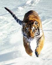 Free Tiger kd phone wallpaper by kd4rmberkeley