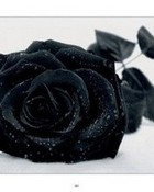 Black Rose wallpaper 1