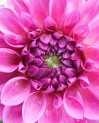 Pink Flower wallpaper 1