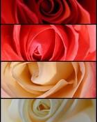 roses...jpg