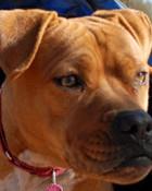 beautyful pit bull