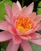 fragrand-and-lovely-lillys.jpg