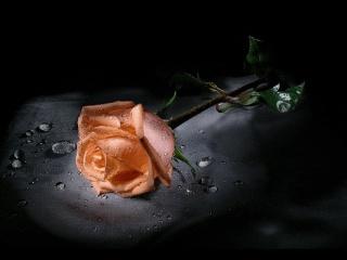 Free rose.jpg phone wallpaper by mkt1977xx