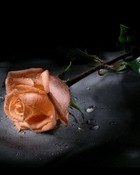 rose.jpg wallpaper 1
