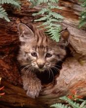 Free Bobcat Kitten phone wallpaper by ispy1959