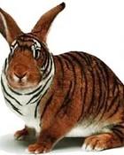 tiger rabbit