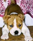 pitbulls-pictures-puppies-07.jpg