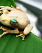 The_golden_Frog_by_picca.jpg