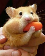 Free cute hamster phone wallpaper by kingtaco2