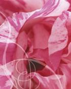 the sweetest rose.jpg