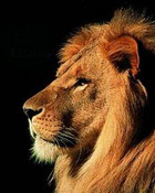 male lion wallpaper 1