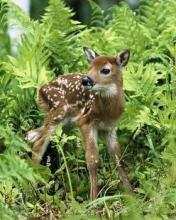 Free White-Tailed Deer Fawn phone wallpaper by ispy1959