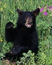 Free Bear Cub phone wallpaper by ispy1959