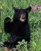 Bear Cub wallpaper 1