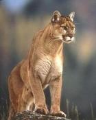 Wild Cat wallpaper 1