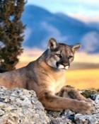 Mountain Cat.jpg