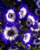 FANTASYblue-flowerst.jpg wallpaper 1