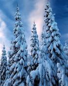 Snow Pine wallpaper 1