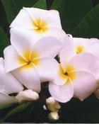 SamoanFluff