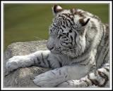 Free Tigre blanco phone wallpaper by ganzotx