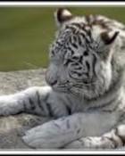 Tigre blanco wallpaper 1