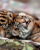 baby tigers.jpg