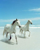 Free animals_white-horses.jpg phone wallpaper by teammojo