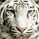 Free animals_tiger-face.jpg phone wallpaper by teammojo