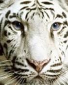 animals_tiger-face.jpg wallpaper 1