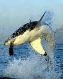 Free animals_shark.jpg phone wallpaper by teammojo