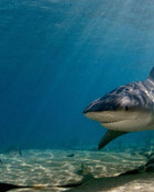 bull-shark-1.jpg